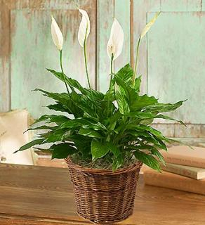 Spathiphyllum Plant for Sympathy